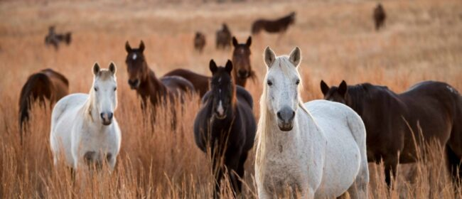 ISPMB Expresses Concerns about the Federal Government's Efforts to Protect Wild Horses on Public Lands